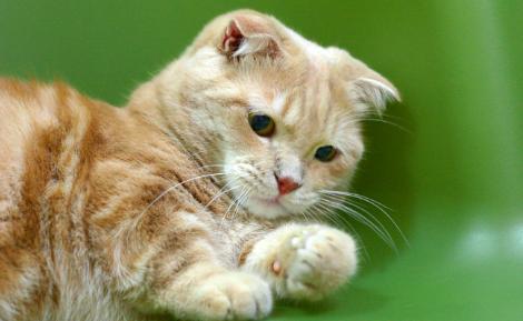 マンチカン,猫,画像,写真,